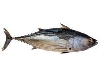 tuńczyk Zdjęcie Royalty Free