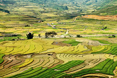 Tu Le долина, Вьетнам, на времени сбора. Стоковые Фотографии RF