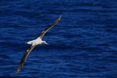 Tułaczy albatros Obrazy Royalty Free