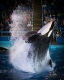 Tuar - SeaWorld il Texas Immagine Stock