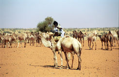 Tuareg camel driver, Mauritania Stock Photo