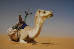 Tuareg camel in the Sahara desert. A Tuareg camel with saddle resting in the Sahara desert Stock Images