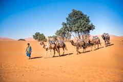 Tuareg leading a camel caravan through the desert. Merzouga, Morocco - 27 march 2015: unidentified man lead a camel caravan through the dunes os Sahara desert Royalty Free Stock Image
