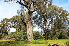 Tuart Tree nära den Ludlow Tuart skogen royaltyfria bilder