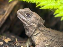 Tuatara当地新西兰爬行动物头  图库摄影