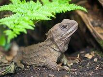 Tuatara新西兰当地人爬行动物 免版税库存图片
