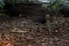 Tuatara редкий гад Новой Зеландии Стоковая Фотография RF