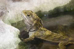 Tuatara 01 Stock Photography