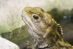 Tuatara 02 Stock Photo