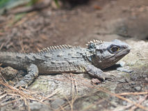 The Tuatara Royalty Free Stock Photo