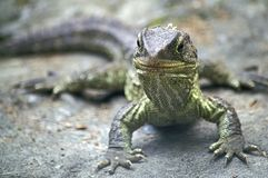 Tuatara royalty free stock image