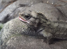 Tuatara Photographie stock