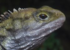 Tuatara. From the Auckland Zoo Royalty Free Stock Photo