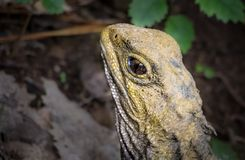 Tuatara Eye And Head Details. Juvenile NZ endangered Tuatara, resting in afternoon forest. When hatch-lings the Tuatara has a visible third eye royalty free stock images