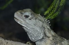 Tuatara lizard Royalty Free Stock Images