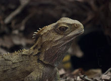 Tuatara Stock Photos