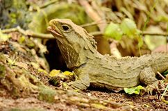 Tuatara lizard. Sphenodon guntheri in New Zealand royalty free stock images