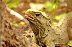 Tuatara lizard. Sphenodon guntheri in New Zealand royalty free stock photo