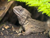 Tuatara native new zealand reptile emerging from burrow stock images