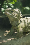Tuatara. New Zealand native Tuatara bathing in the sun Stock Images