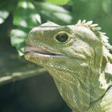 Tuatara Royalty Free Stock Photos