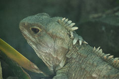 Tuatara Royalty Free Stock Photography