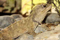 Tuatara, punctatus Sphenodon, редкое живущее ископаемый, Новая Зеландия Стоковые Фотографии RF