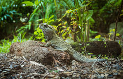 Tuatara Stock Photo
