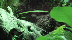 Tuatara sit on a tree branch in rainforest stock video footage