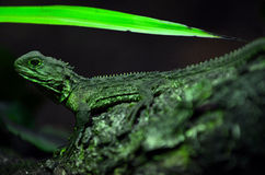 Tuatara sit on a tree branch in rainforest Stock Images