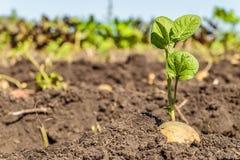 Tubérculo brotado de la patata Lanzamientos del verde de la semilla de la patata en el fondo de la plantación foto de archivo libre de regalías