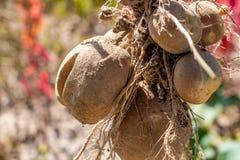 Tubérculo da batata após a colheita imagens de stock