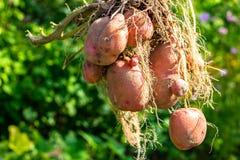 Tubérculo da batata após a colheita foto de stock royalty free