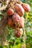 Tubérculo da batata após a colheita imagem de stock royalty free