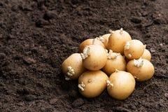 Tub?rculos da batata no solo Apronte para plantar fotos de stock royalty free