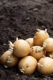Tub?rculos da batata no solo Apronte para plantar fotografia de stock