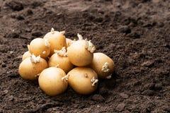 Tub?rculos da batata no solo Apronte para plantar foto de stock