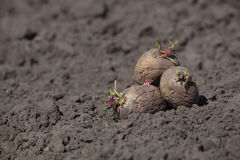 Tubérculos de la patata puestos en la tierra Fotografía de archivo libre de regalías