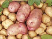 Tubérculos grandes de las patatas rosa y amarillo Cultivos de raíces imagen de archivo libre de regalías