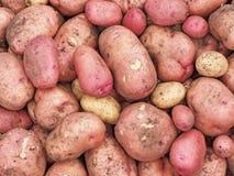Tubérculos grandes de las patatas rosa y amarillo Cultivos de raíces fotografía de archivo