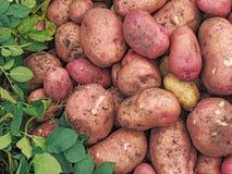 Tubérculos grandes de las patatas rosa y amarillo Cultivos de raíces imagenes de archivo