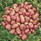 Tubérculos grandes de las patatas rosa y amarillo Cultivos de raíces imagen de archivo