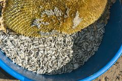 Harvest of Sunflower Seeds in a Blue Tub stock photo