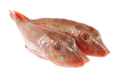 Tub gurnard, fresh fish Royalty Free Stock Images