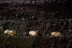 Tub?rculos da batata e m?quina do cultivador nos sulco em um campo da batata imagens de stock royalty free