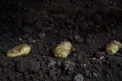 Tub?rculos da batata e m?quina do cultivador nos sulco em um campo da batata imagem de stock royalty free