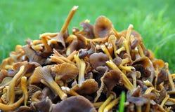 tubaeformis cantharellus Стоковое Изображение RF