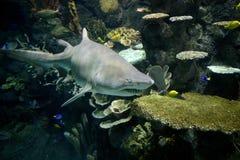 Tubarão 01 foto de stock royalty free