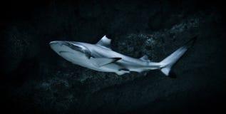 Tubarão Imagens de Stock Royalty Free
