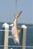 Tubarão amarrado acima Imagens de Stock